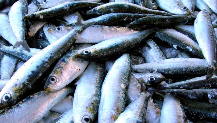 sardinha europeia (credits: Jose Antonio Martinez)